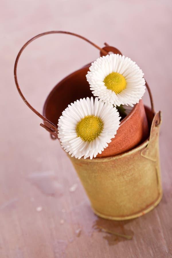 Fleur de marguerite blanche avec le vieux seau de bidon photos libres de droits