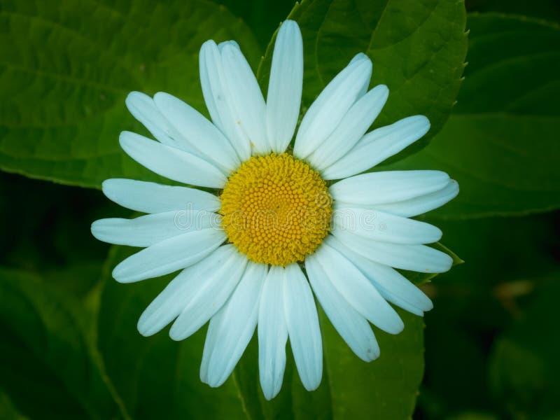 Fleur de marguerite blanche sur le fond vert brouillé images libres de droits
