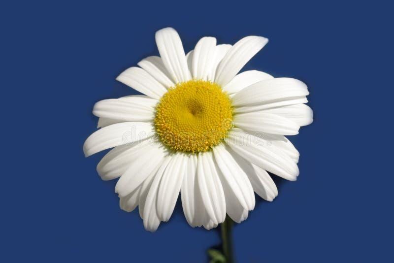 Fleur de marguerite d'isolement sur le bleu photo libre de droits