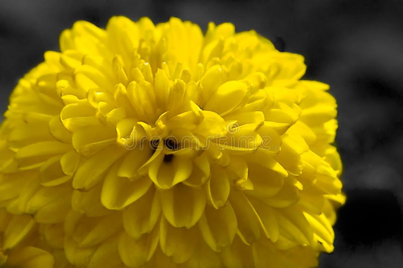 Fleur de marguerite d'isolement sur le fond noir image libre de droits