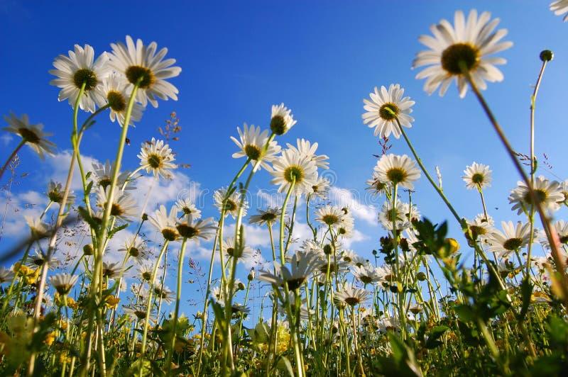 Fleur de marguerite de dessous avec le ciel bleu photographie stock libre de droits