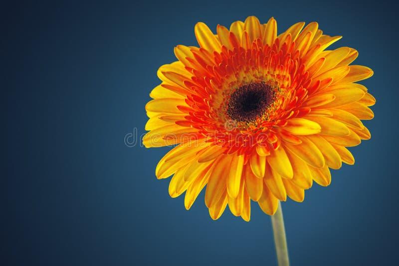 Fleur de marguerite de Gerbera sur le fond bleu photos libres de droits