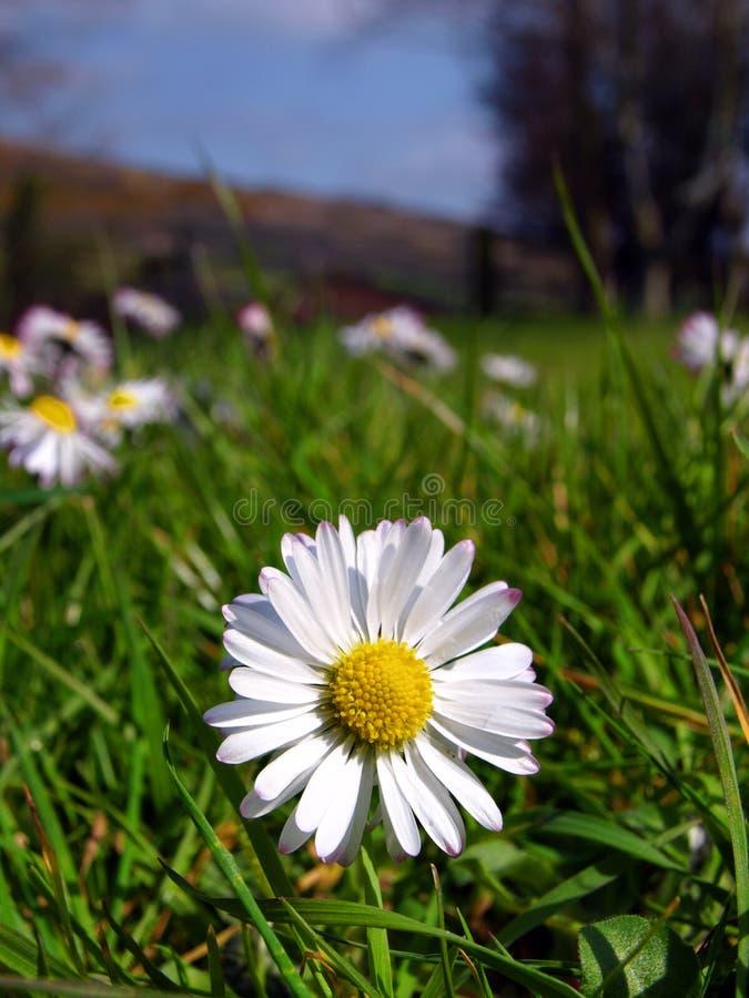 Fleur de marguerite de source image libre de droits