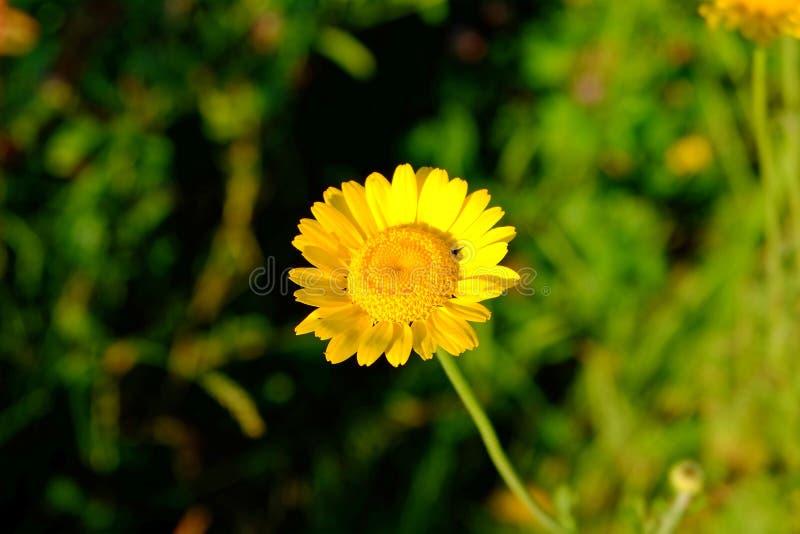 Fleur de marguerite des prés d'or images libres de droits