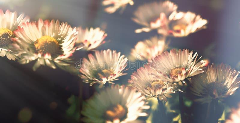 Fleur de marguerite - les fleurs de marguerite se sont allumées par lumière du soleil dans le jardin d'agrément photos libres de droits