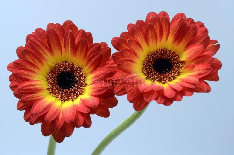 Fleur de marguerite rouge et orange photos stock