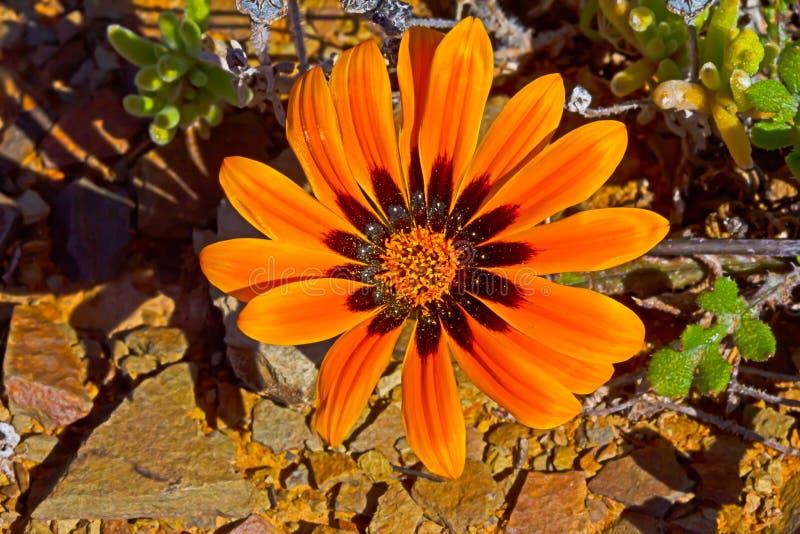 Fleur de marguerite rouge et orange photographie stock