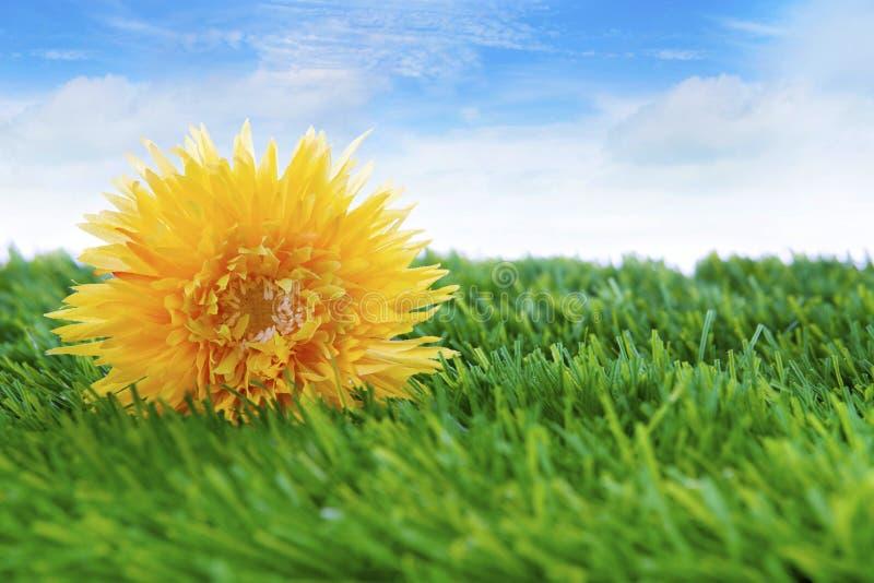 Fleur de marguerite sur l'herbe photos libres de droits