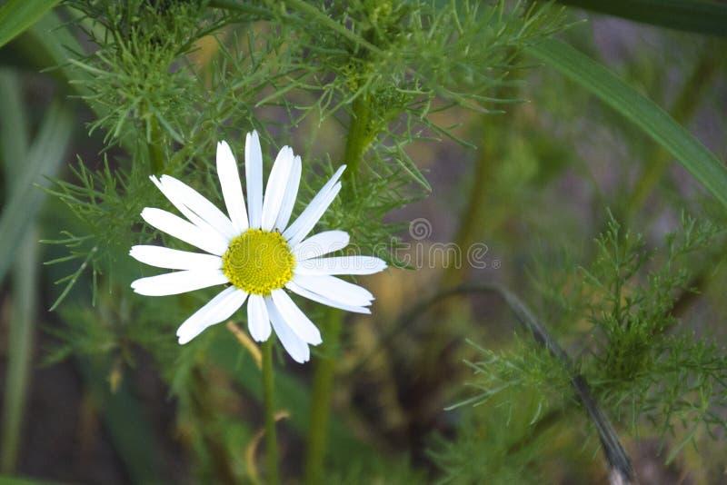 fleur de marguerite sur le fond brouill? d'herbe verte photos stock