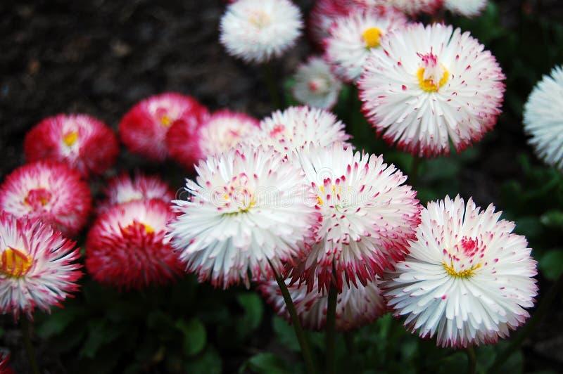 Fleur de marguerites image stock