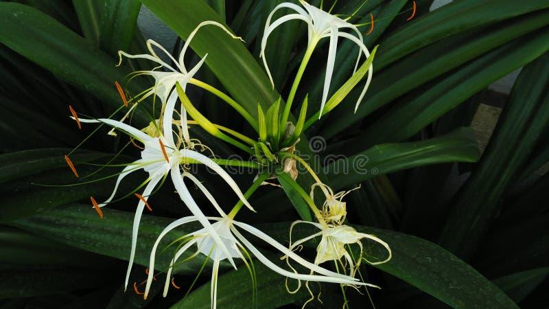 Fleur de matin image libre de droits