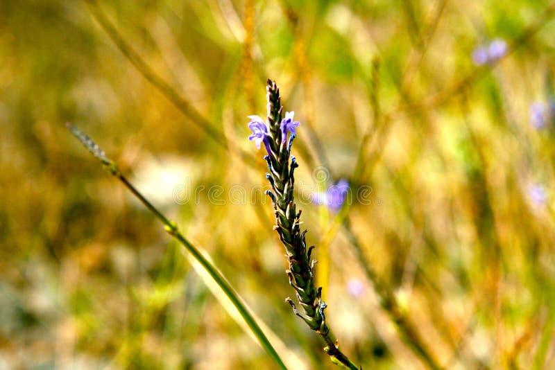 Fleur de mauve photo stock