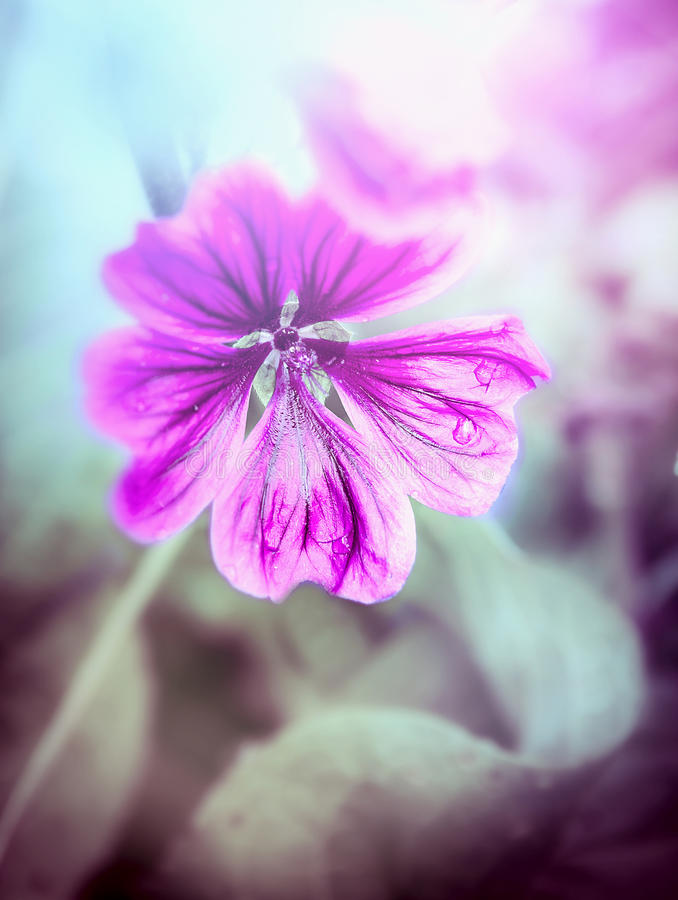 Fleur de mauve de rose sauvage, modifiant la tonalité images stock