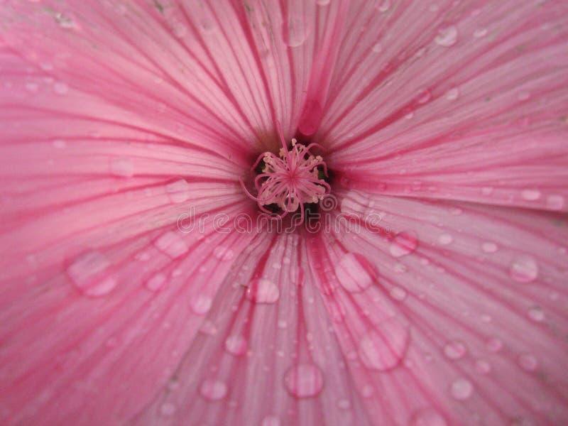Fleur de mauve - macro Lavatera Belle fleur Centrale de jardin images libres de droits