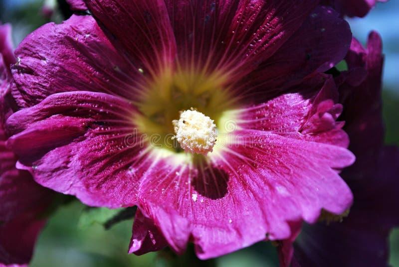 Fleur de mauve, pétales et fin pourpres de pistil vers le haut de détail photos libres de droits