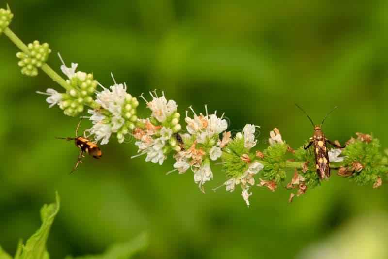 Fleur de menthe verte avec des insectes photo libre de droits