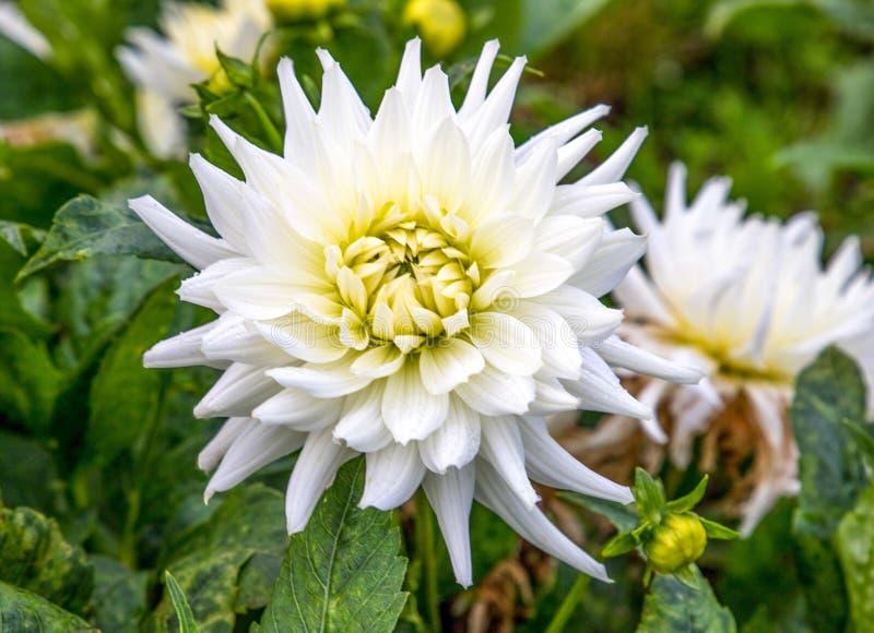 Fleur de mon propre jardin photos stock