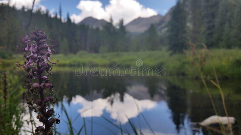 Fleur de montagne photographie stock