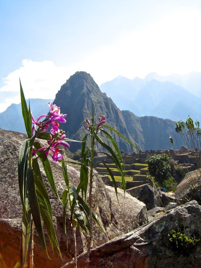 Fleur de montagne images libres de droits