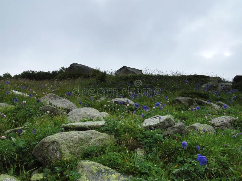 Fleur de montagne après la pluie image stock