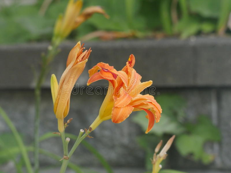 Fleur de mort image libre de droits