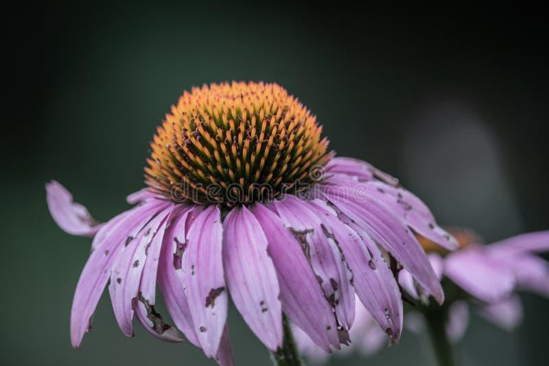 Fleur de mort de cône photos stock