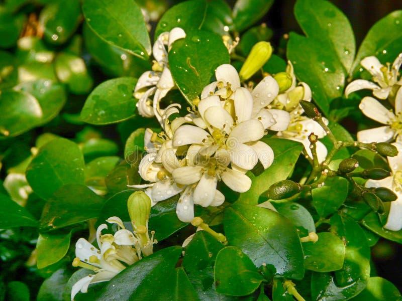 Fleur de Murraya Paniculata images stock