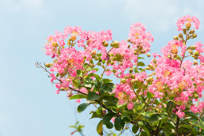 Fleur de myrte de crêpe photos stock