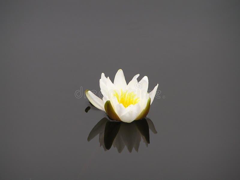 Fleur de nénuphar image libre de droits
