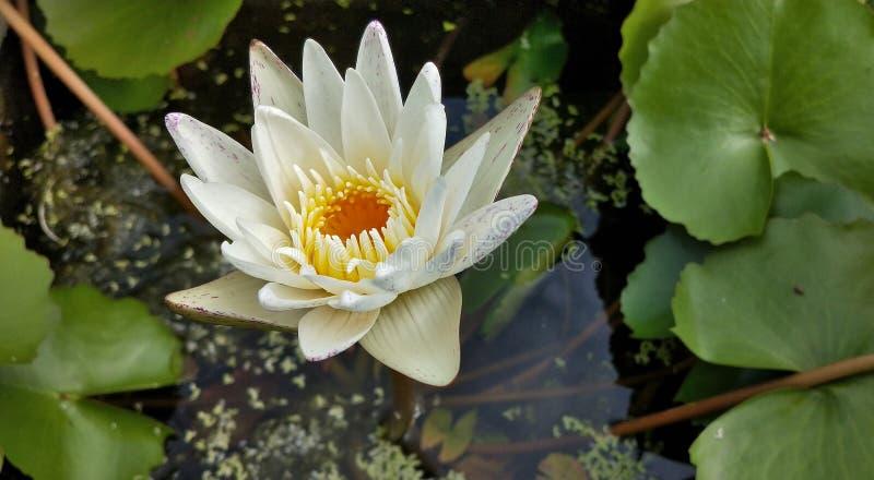 Fleur de nénuphar de lotus blanc avec le grand vert dans l'étang 2 photo stock