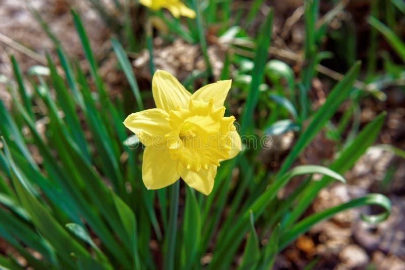 Fleur de narcisse en parc de Niagara aux chutes du Niagara photographie stock libre de droits