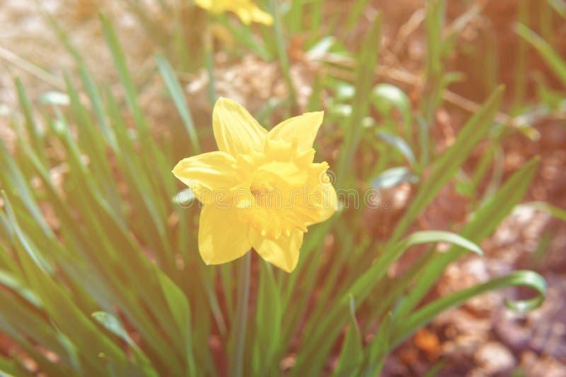 Fleur de narcisse en parc de Niagara aux chutes du Niagara Etats-Unis image stock