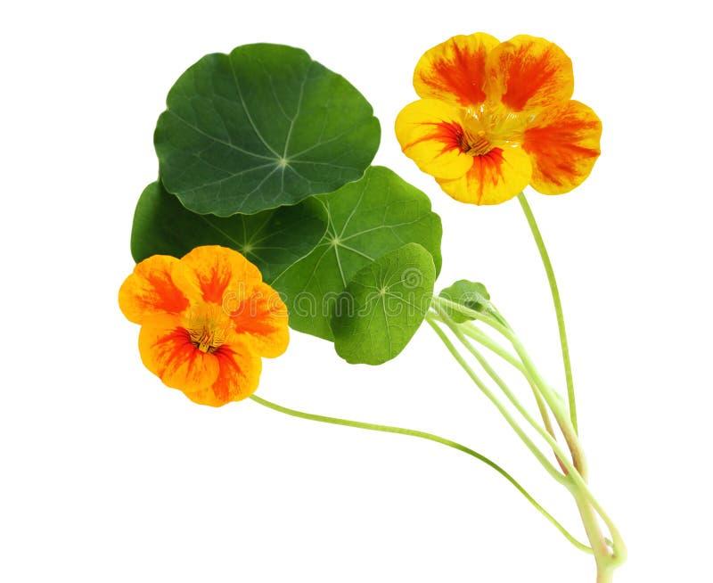 Fleur de nasturce photographie stock