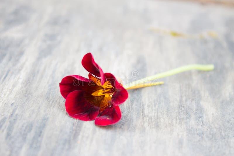 Fleur de nasturce de Bourgogne sur la vieille surface en bois dans le jardin photos libres de droits