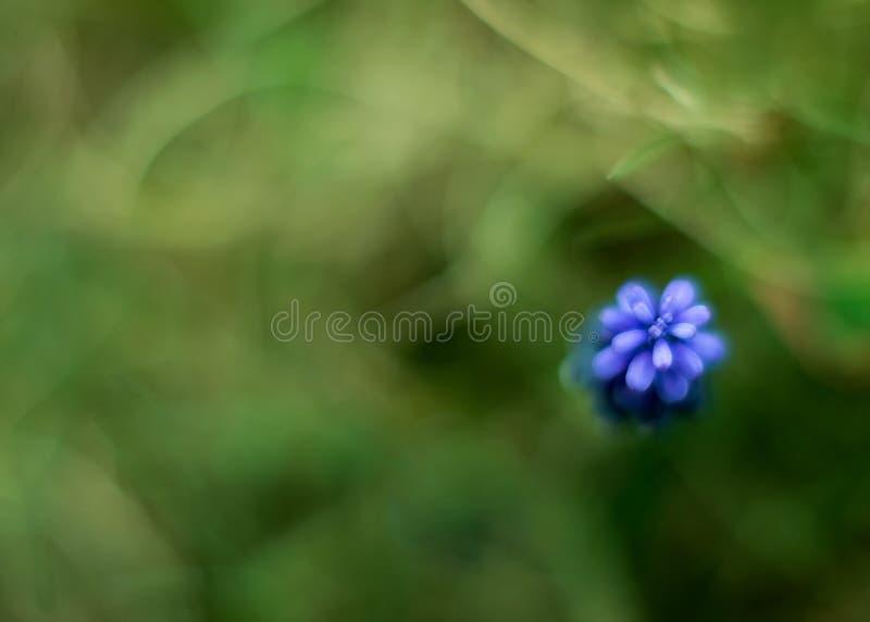 Fleur de neglectum de Muscari photos stock
