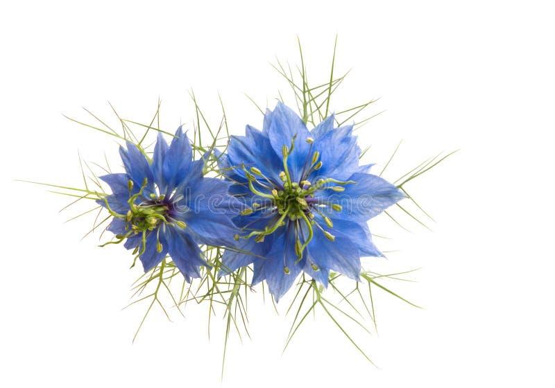 fleur de nigella d'isolement photos stock