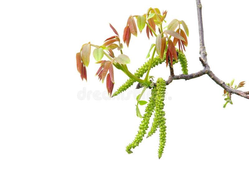Fleur de noix images stock