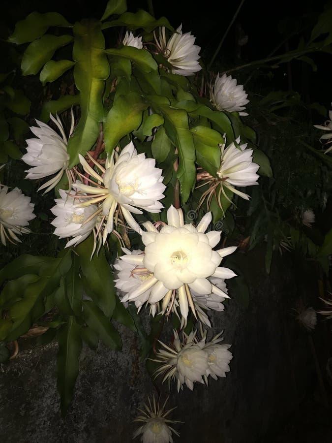 Fleur de nuit de Kadupul image stock