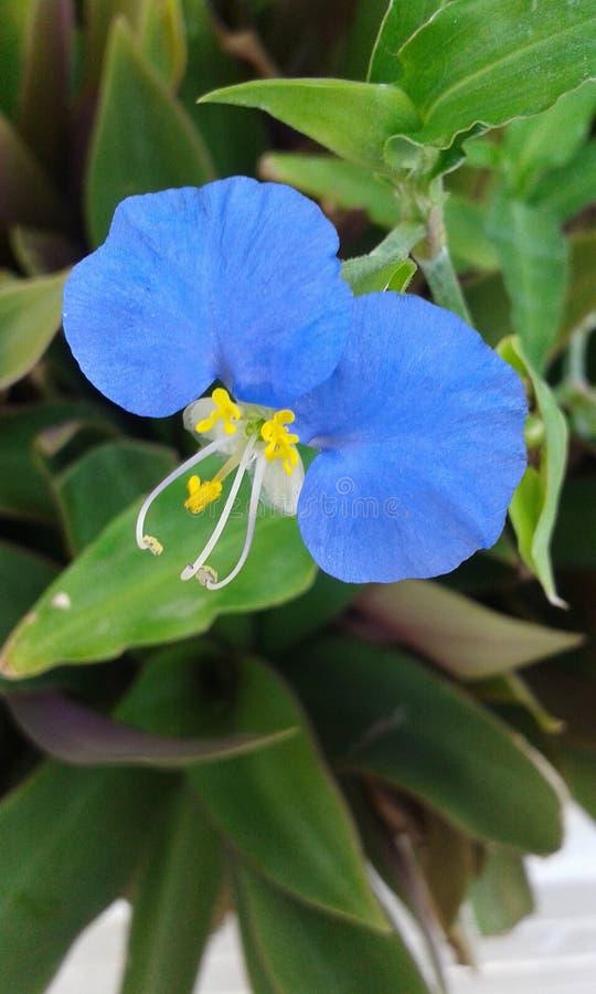 Fleur de pétale du bleu deux photographie stock libre de droits