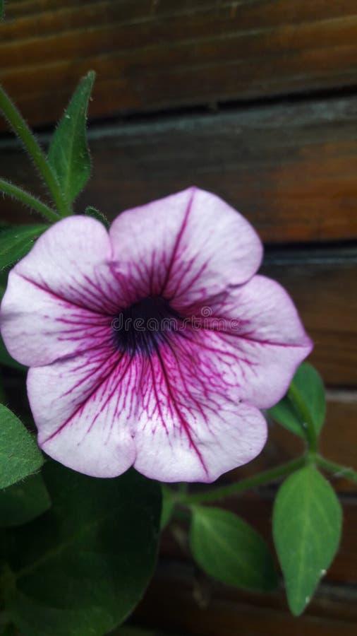 Fleur de pétunia photo libre de droits