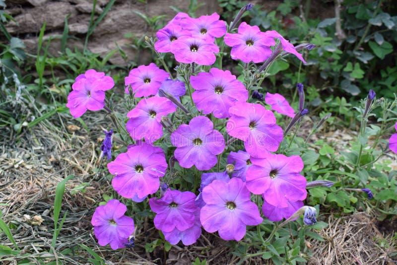 Fleur de pétunia photographie stock libre de droits
