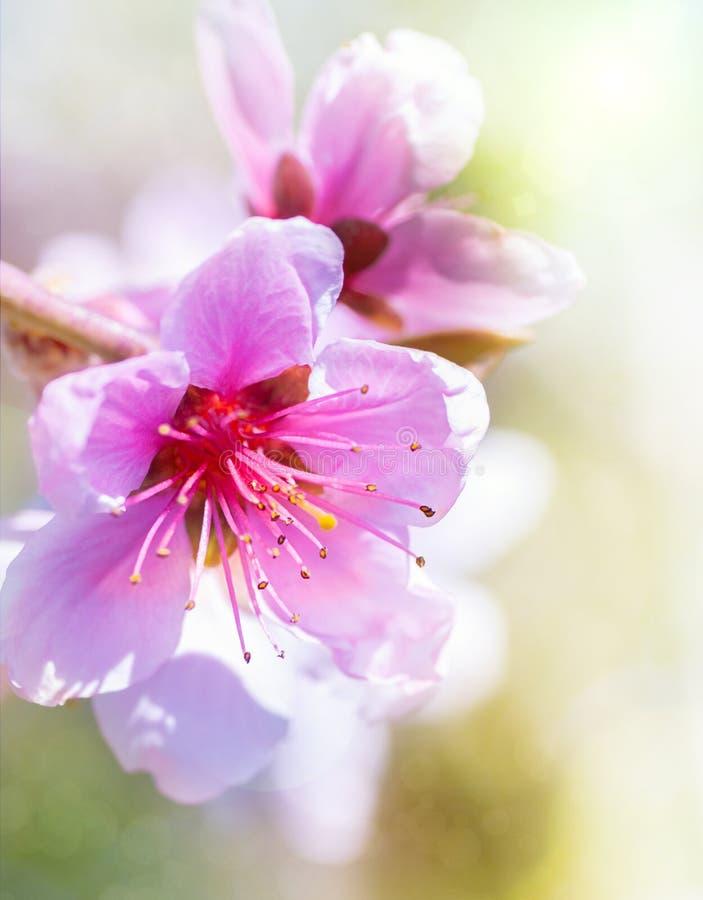 Fleur de pêche au printemps. image stock