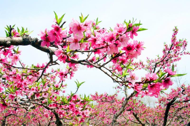 Fleur de pêche de la floraison image stock