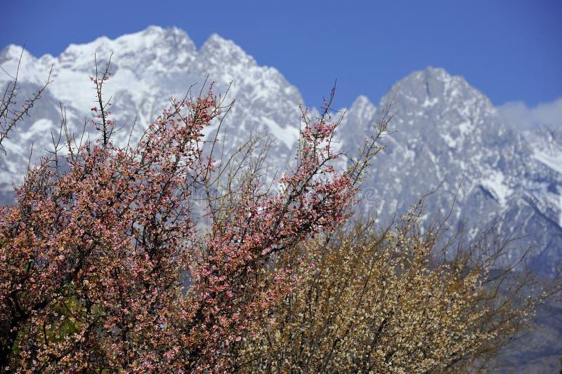 Fleur de pêche et montagne de neige photographie stock