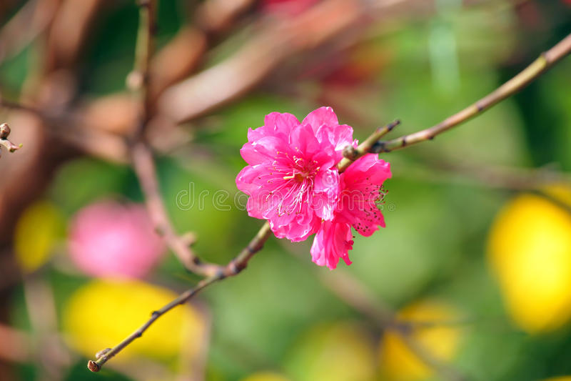 Fleur de pêche, fleur pendant la nouvelle année chinoise image libre de droits