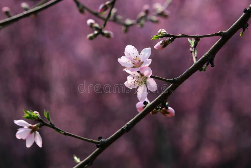 Fleur de pêche fleurissant au printemps photos stock
