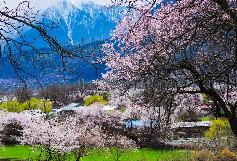 Fleur de pêche, le matin du village tibétain photographie stock libre de droits