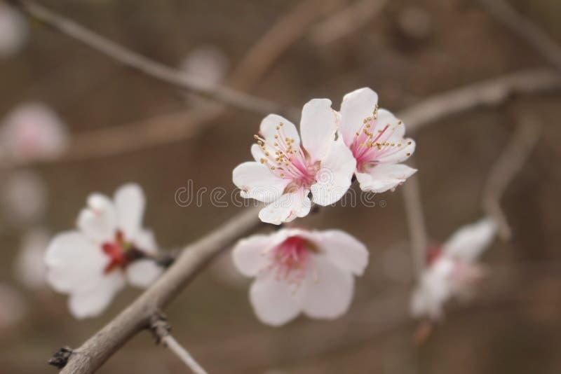 Fleur de p?che photographie stock libre de droits