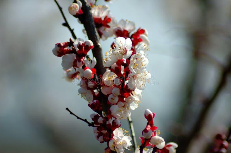 Fleur de p?cher au printemps illustration libre de droits