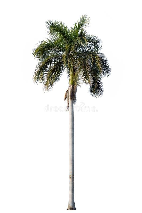 Fleur de palmier royal d'isolement sur le blanc photo libre de droits